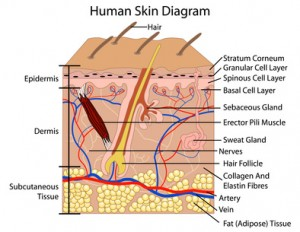 Diagram of the Human Skin