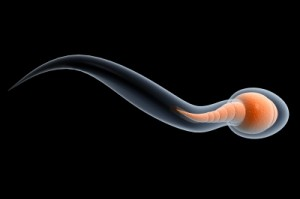 Arginine has a positive impact on sperm count, motility and morphology