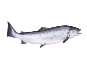 salmon rich in omega-3